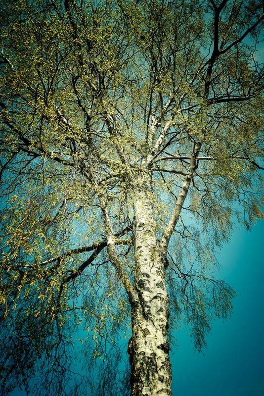Psychotherapie Rozbicki: Birke unter blauem Himmel